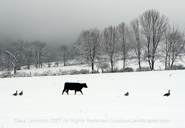 A cow and geese strut along a snow pasture.