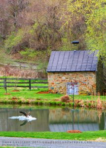 A Canadian Goose lands in a pond, next to a small stone house.